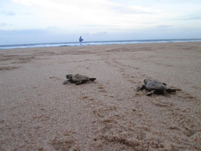 Baby Turtles White Pearl Resorts